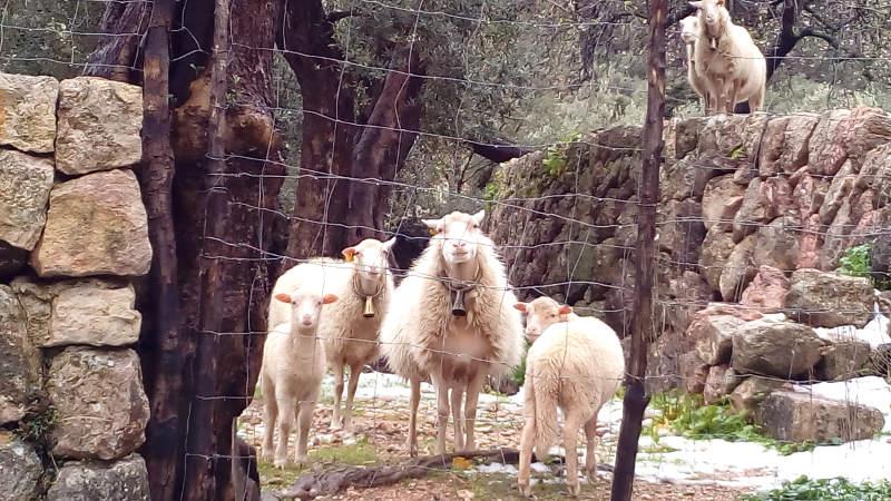 Schafe auf Mallorca im Schnee