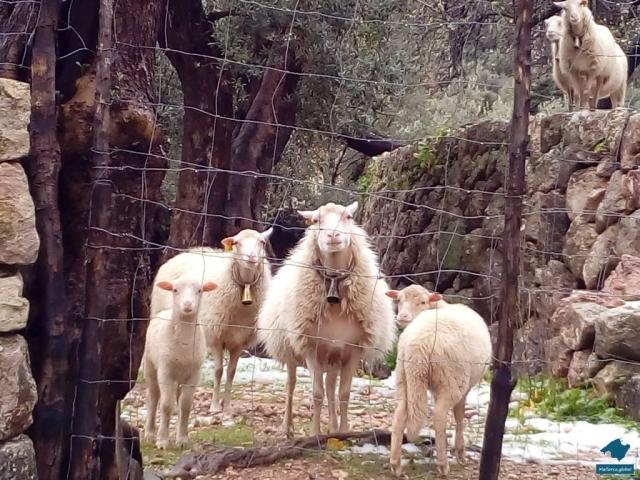 Schafe Schnee Mallorca