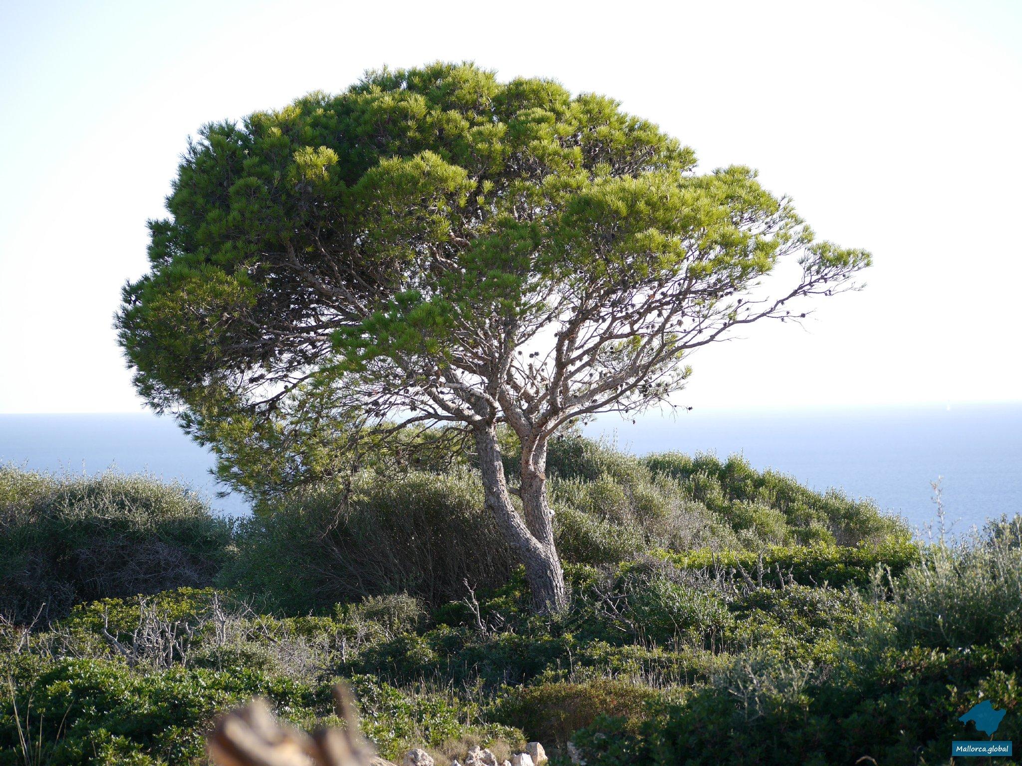 Mallorca Baum