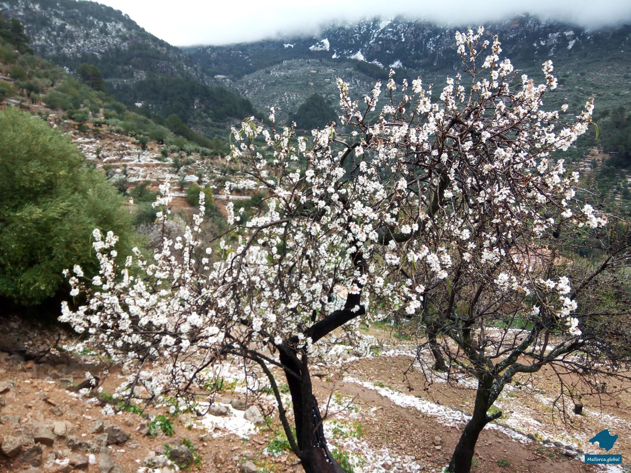 Mandelblüte vor verschneitem Bergmassiv