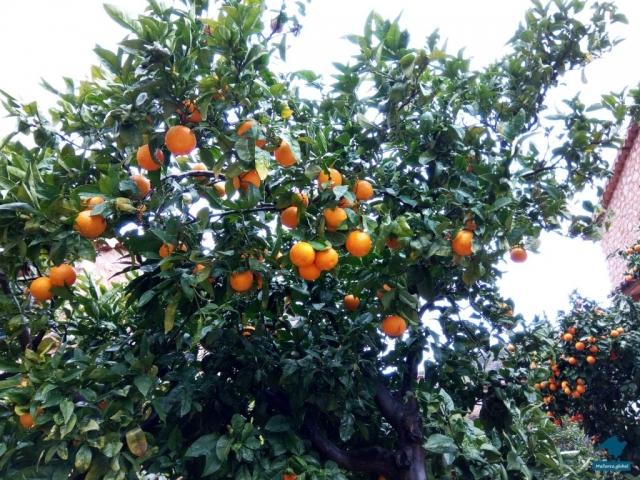 Orangen im Winter