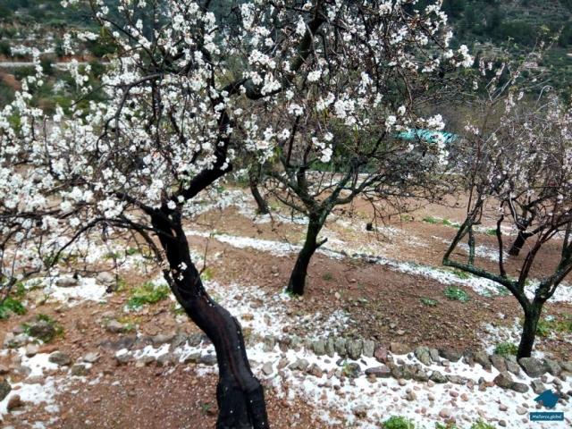 Mandelblüte auf Mallorca