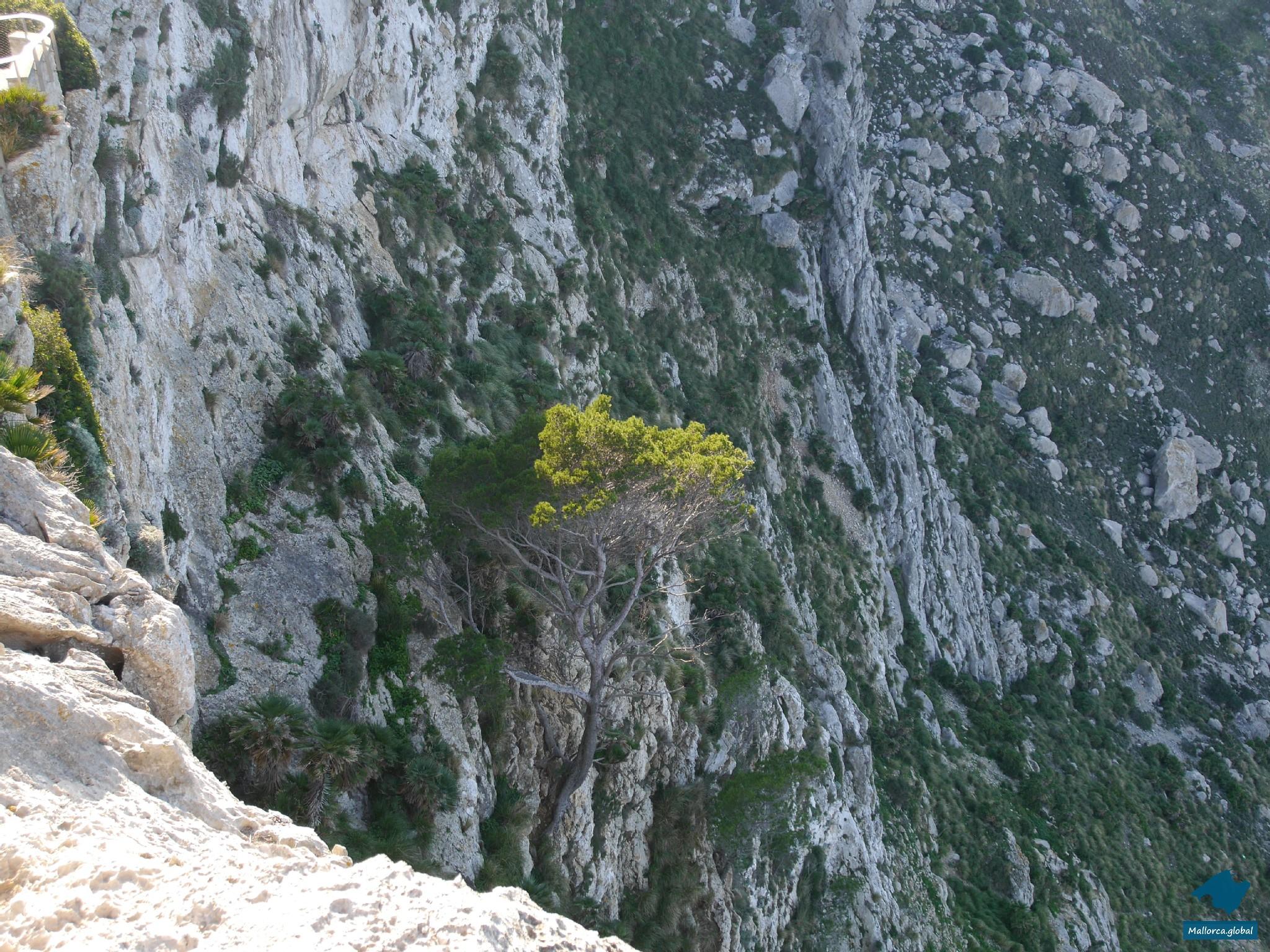 Baum am Abhang Cap Formentor