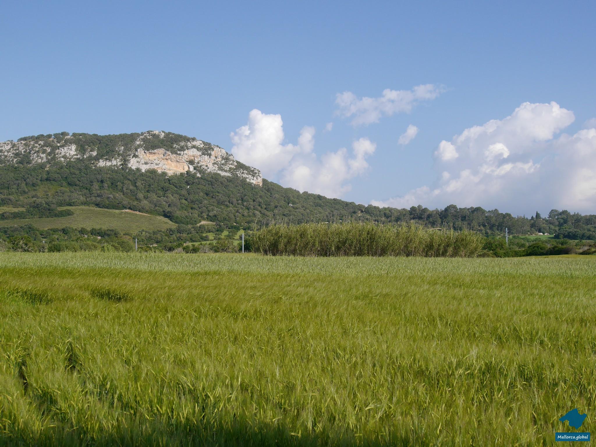 Mallorca Kornfeld Berg