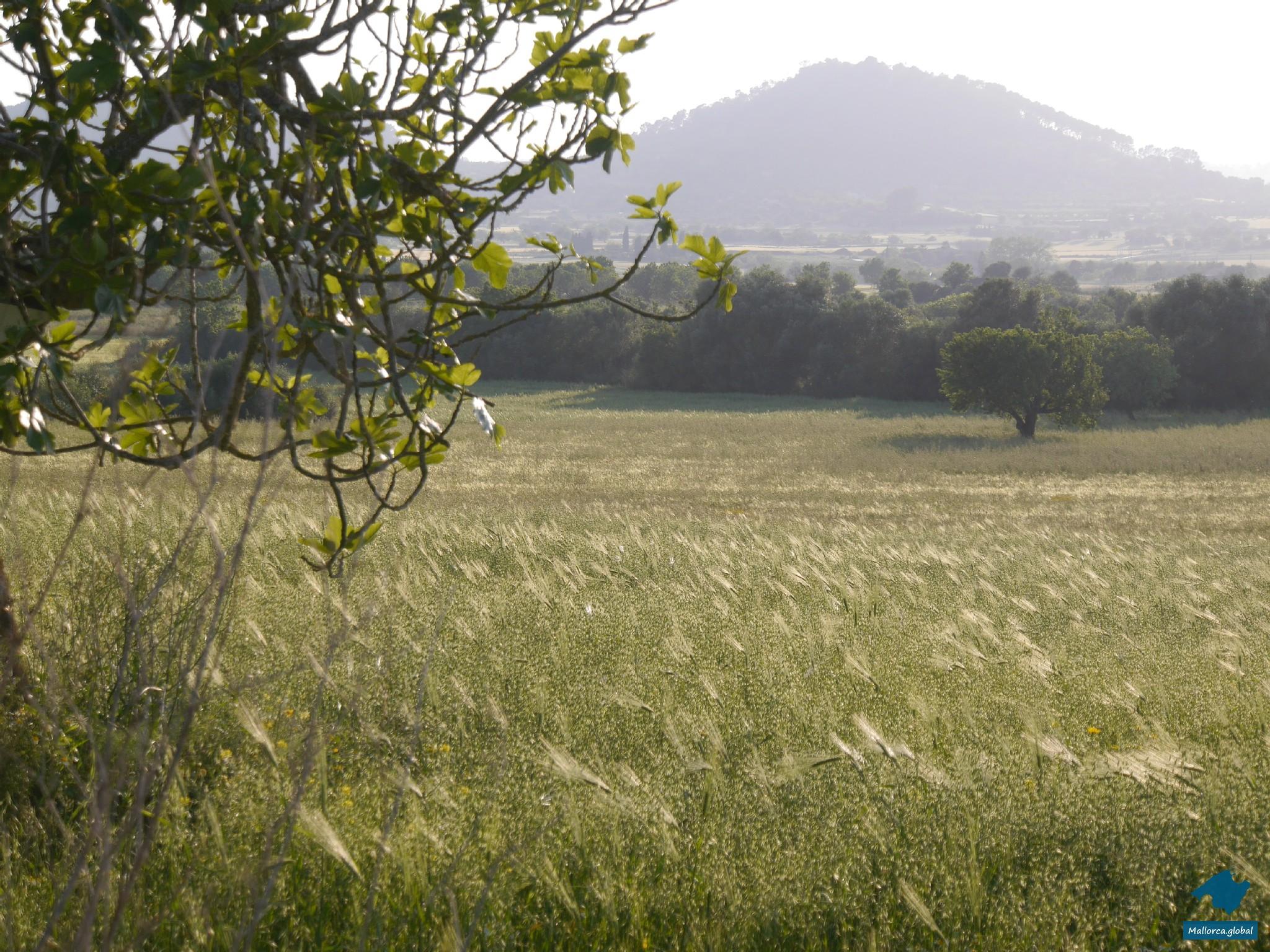 Mallorca Kornfeld