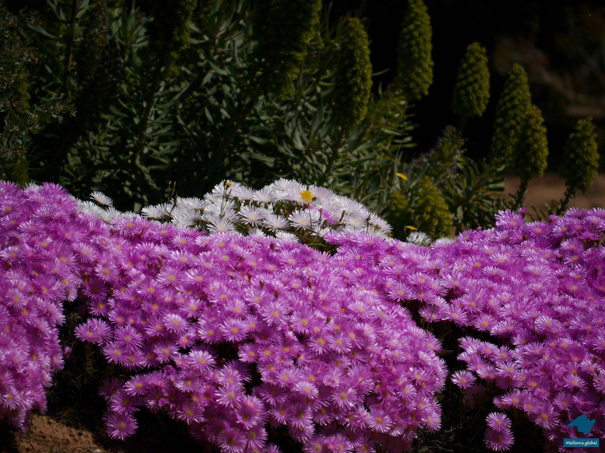 Mallorca Blumenmeer