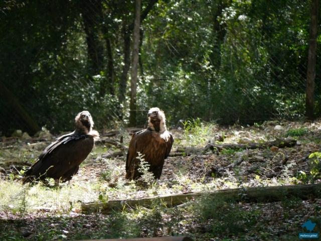 Mönchsgeier warten auf ihre Mahlzeit